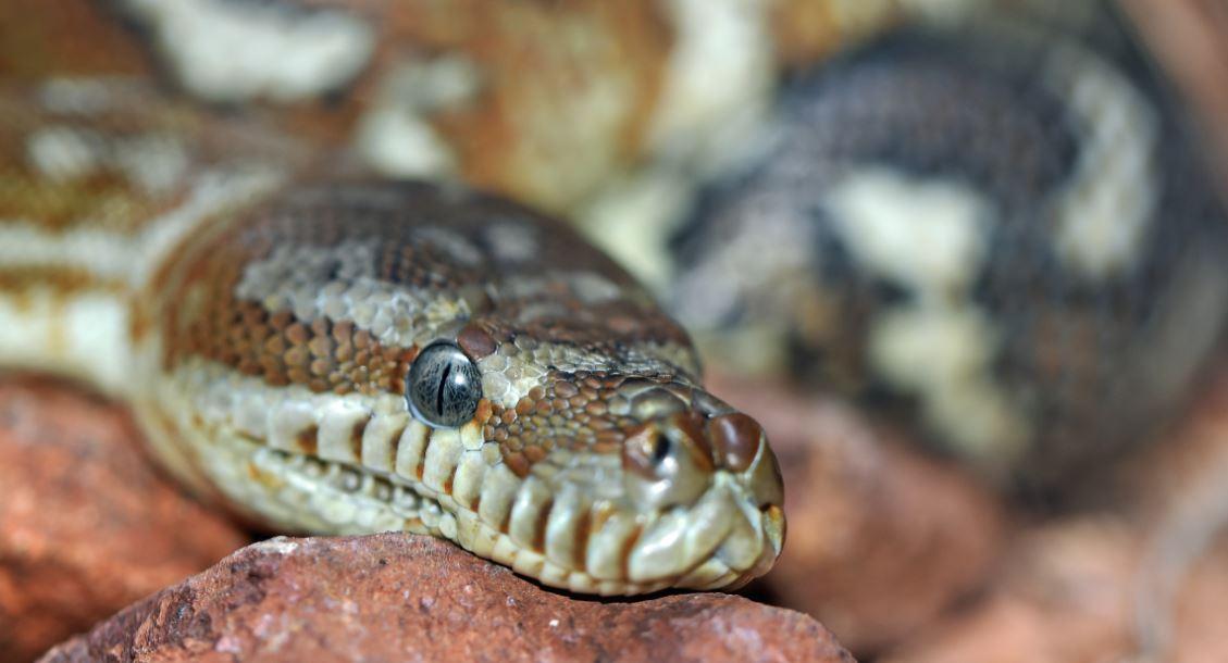 Der Raucher und die Würgeschlange - Schlange als Symbolbild